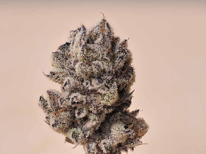 The Purple Punch Strain Is Granddaddy Purple's Favorite Offspring
